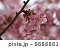 かわづざくら カワヅザクラ 河津桜の写真 9888881