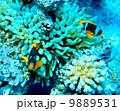 シュノーケリング 魚 ダイビングの写真 9889531