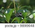 マダラチョウ ゴマダラチョウ 蝶の写真 9890648