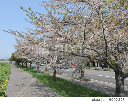 新川通り(札幌市)の桜並木 9902893