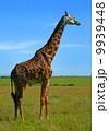 Wild African Giraffe 9939448
