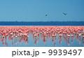 flocks of flamingo 9939497