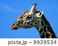 Portrait of Giraffe 9939534