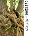 ネズコ 大木 根の写真 9953870
