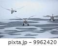鳥類 白鳥 渡り鳥の写真 9962420