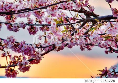 桜を照らす夕日 9963226