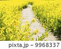 菜の花の小道2 9968337