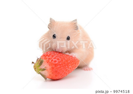 いちごを食べるキンクマハムスター 9974518