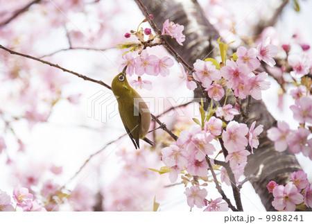 河津桜の花蜜を吸うメジロ 9988241