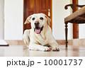 伏せる ペット 愛玩動物の写真 10001737