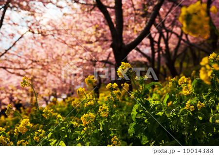 夕日をあびる菜の花。桜をバックに。 10014388