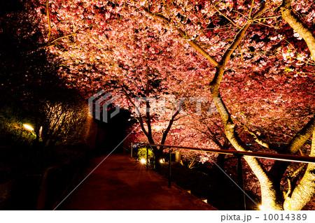 ライトアップされた桜 10014389