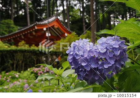 三室戸寺のハート紫陽花 10015154