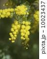 ギンヨウアカシア(ミモザ)の花 10023437