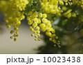 ギンヨウアカシア(ミモザ)の花 10023438
