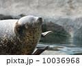笑顔のゴマフアザラシ 旭山動物園 (旭川市) 10036968