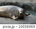 微笑んでいるゴマフアザラシ 旭山動物園 (旭川市) 10036969