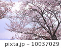 桜 10037029