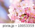 満開の河津桜 10053359
