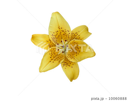 Yellow lilly flower isolated on whiteの写真素材 [10060888] - PIXTA