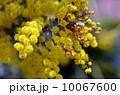 ギンヨウアカシアの花 10067600