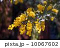 ギンヨウアカシア 10067602