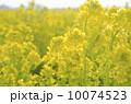 菜の花 10074523