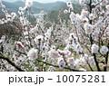 梅の花 10075281