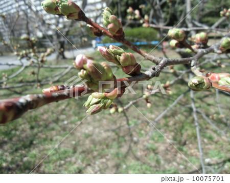 明日にも咲きそうなオオシマザクラの蕾 10075701
