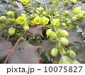 ヒイラギナンテンの黄色い可愛い花 10075827