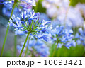 マクロ 花 アガパンサスの写真 10093421