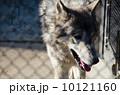 狼 シンリンオオカミ 動物の写真 10121160