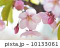 河津桜 花 桜の写真 10133061