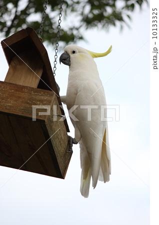 野生のキバタンの写真素材 [10133325] - PIXTA