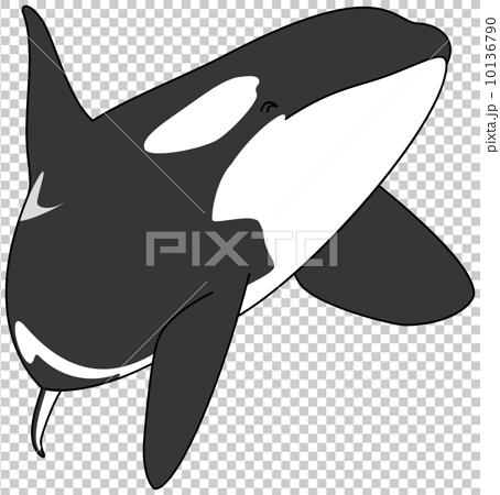 逆戟鲸 鲸鱼 海豚 10136790