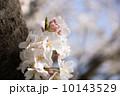 多摩川のサクラ 2014 10143529