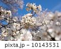 多摩川のサクラ 2014 10143531