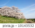 多摩川のサクラ 2014 10143532