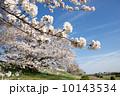多摩川のサクラ 2014 10143534