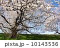 多摩川のサクラ 2014 10143536