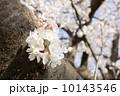 多摩川のサクラ 2014 10143546