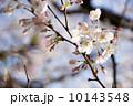多摩川のサクラ 2014 10143548