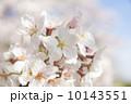 多摩川のサクラ 2014 10143551