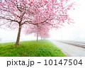 flowering cherry, sakura trees 10147504