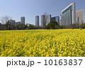 浜離宮恩賜庭園 満開 菜の花の写真 10163837