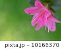 初夏に咲くつつじ 10166370