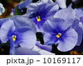 4月花 ビオラ・スミレ科72 10169117