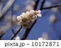 梅の花_02 10172871