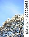 ハクモクレン 満開 花の写真 10220968
