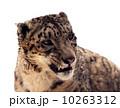 ヒョウ 豹 自然の写真 10263312